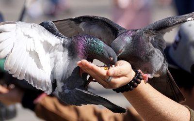 Alimentar pombos só é bonito no cinema